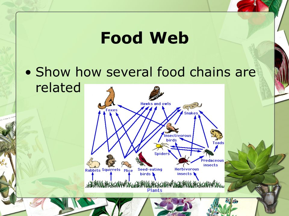 Food Web Show how several food chains are related