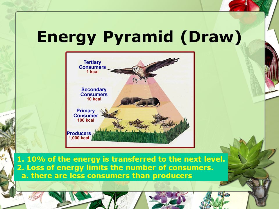 Energy Pyramid (Draw) 1. 10% of the energy is transferred to the next level. 2. Loss of energy limits the number of consumers.