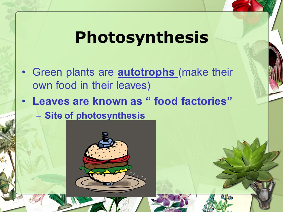 Photosynthesis Green plants are autotrophs (make their own food in their leaves) Leaves are known as food factories