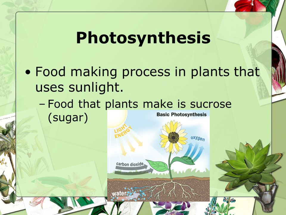 Photosynthesis Food making process in plants that uses sunlight.