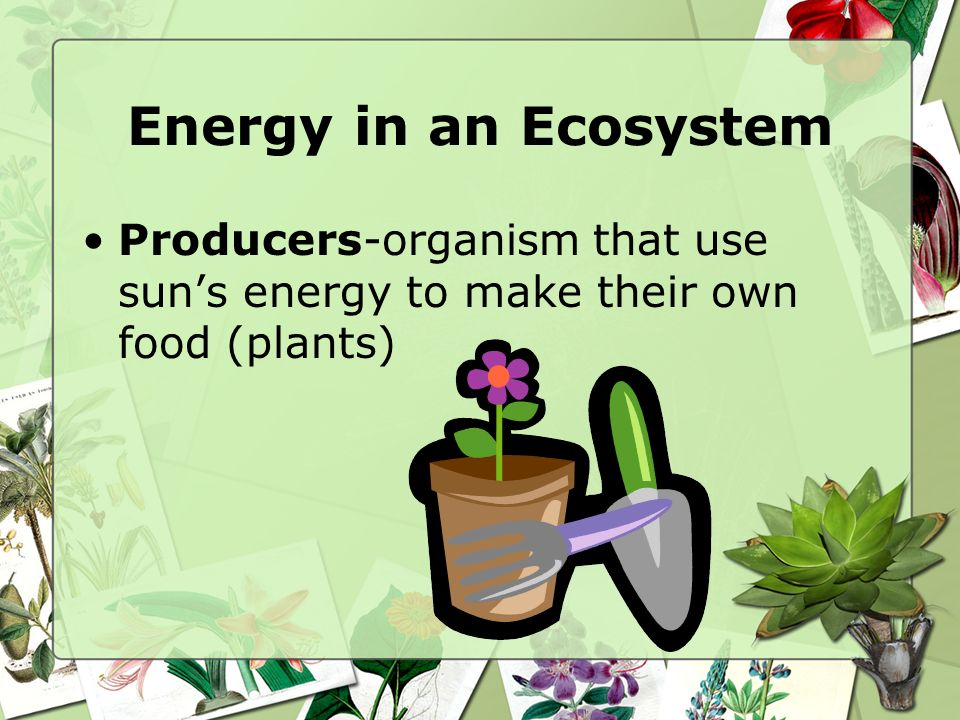 Energy in an Ecosystem Producers-organism that use sun's energy to make their own food (plants)