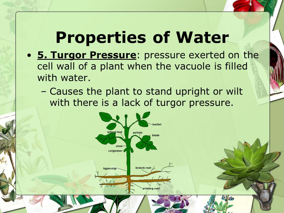 Properties of Water 5. Turgor Pressure: pressure exerted on the cell wall of a plant when the vacuole is filled with water.