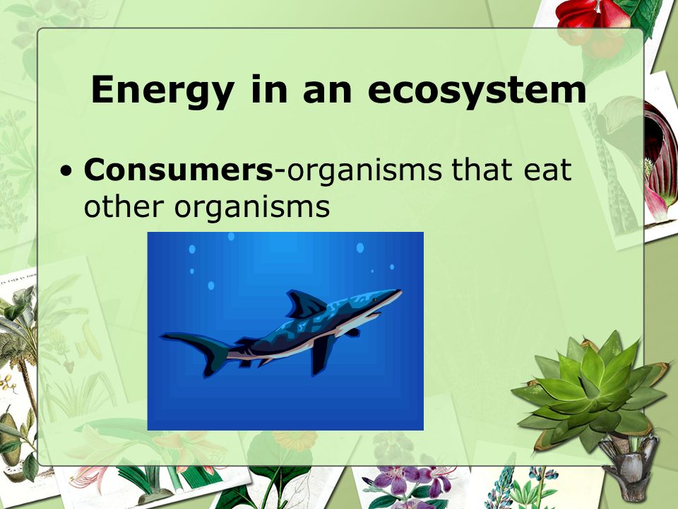 Energy in an ecosystem Consumers-organisms that eat other organisms
