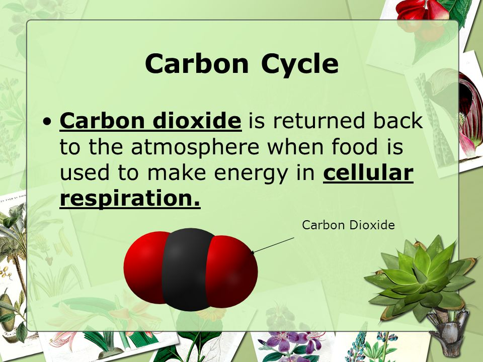 Carbon Cycle Carbon dioxide is returned back to the atmosphere when food is used to make energy in cellular respiration.