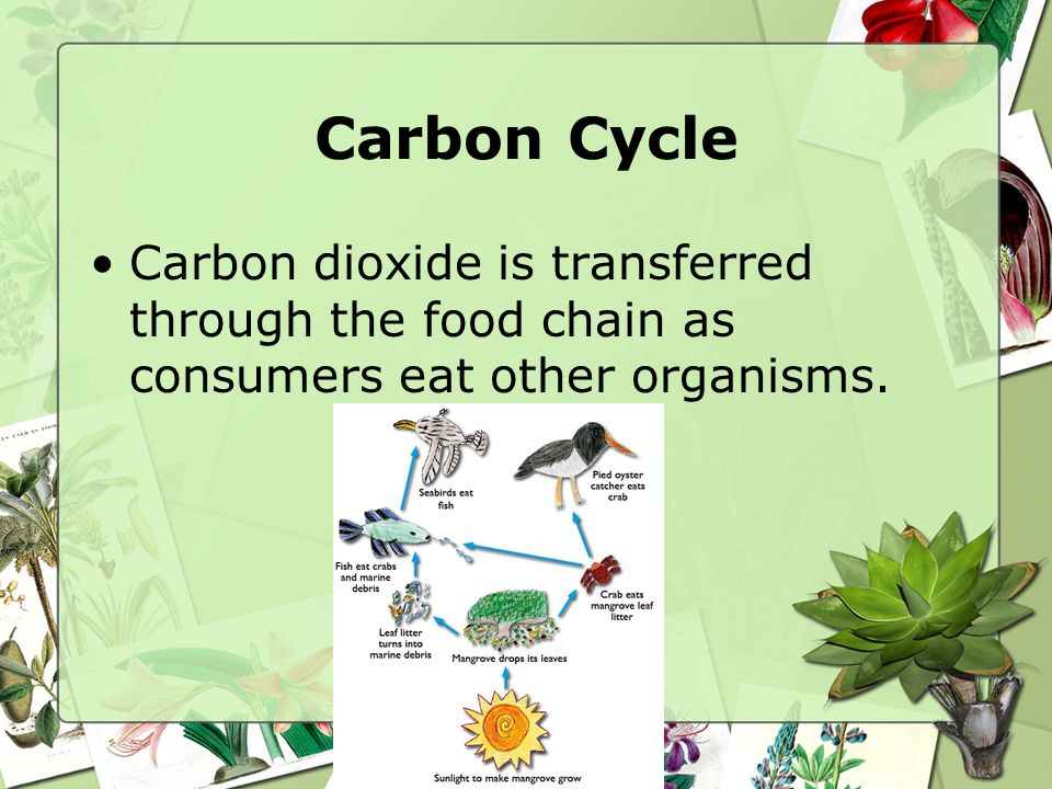 Carbon Cycle Carbon dioxide is transferred through the food chain as consumers eat other organisms.