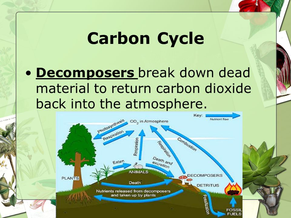 Carbon Cycle Decomposers break down dead material to return carbon dioxide back into the atmosphere.