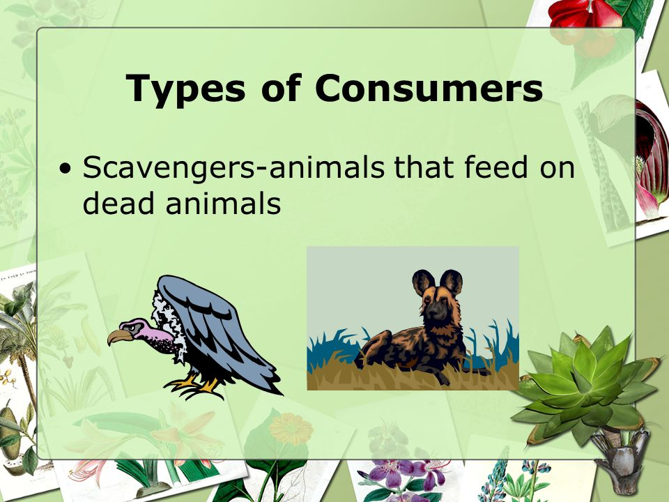 Types of Consumers Scavengers-animals that feed on dead animals