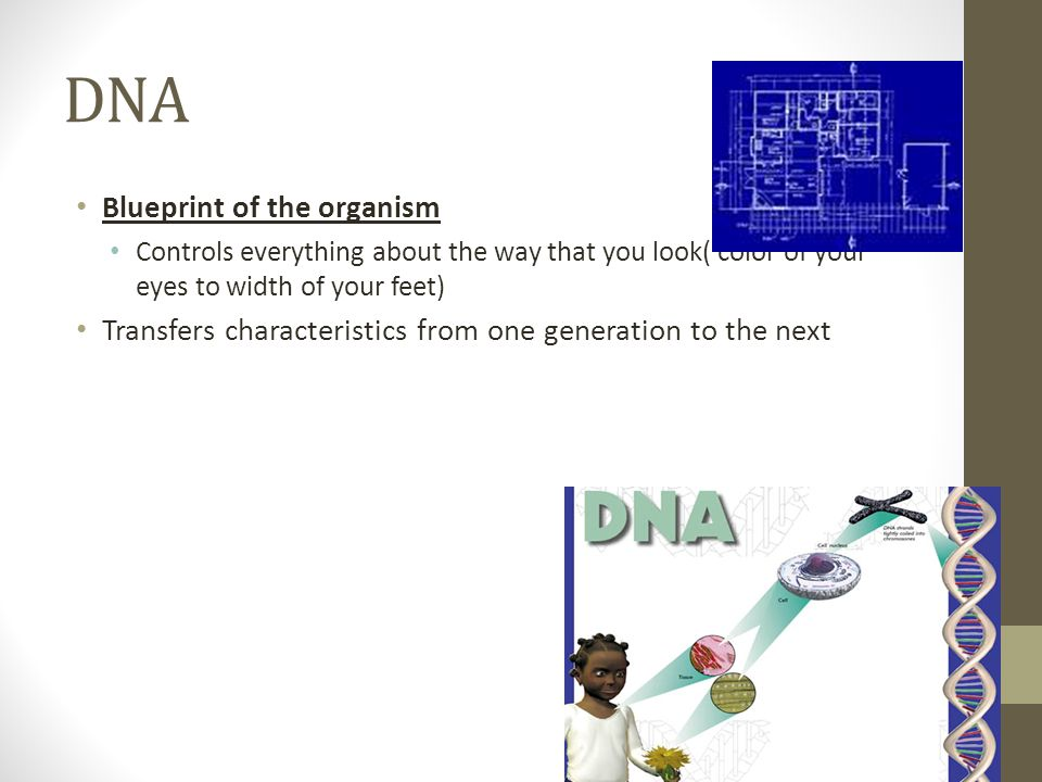 DNA Blueprint of the organism