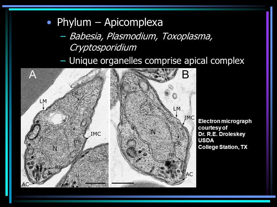 Phylum – Apicomplexa Babesia, Plasmodium, Toxoplasma, Cryptosporidium