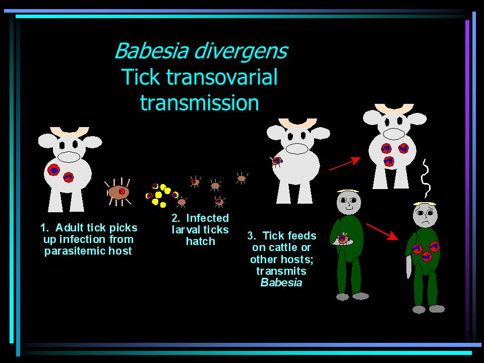 Babesia divergens Tick transovarial transmission