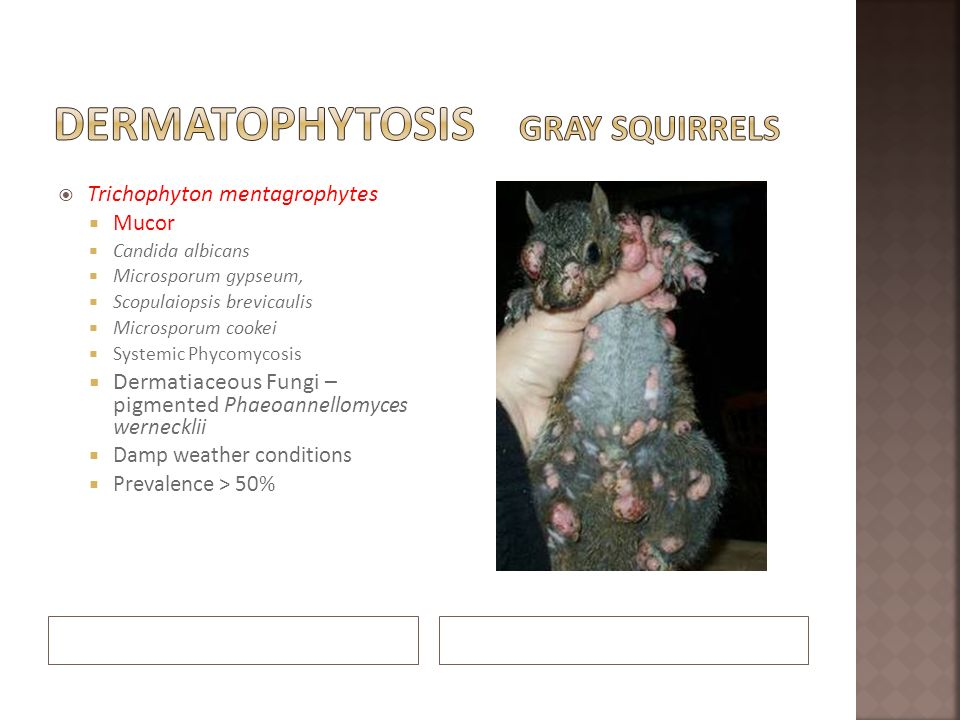 Dermatophytosis Gray Squirrels