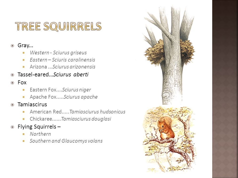 Tree SquirrelS Gray... Tassel-eared...Sciurus aberti Fox Tamiascirus