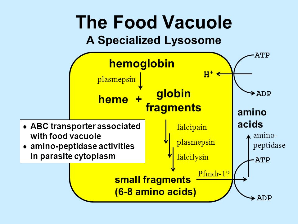 The Food Vacuole A Specialized Lysosome