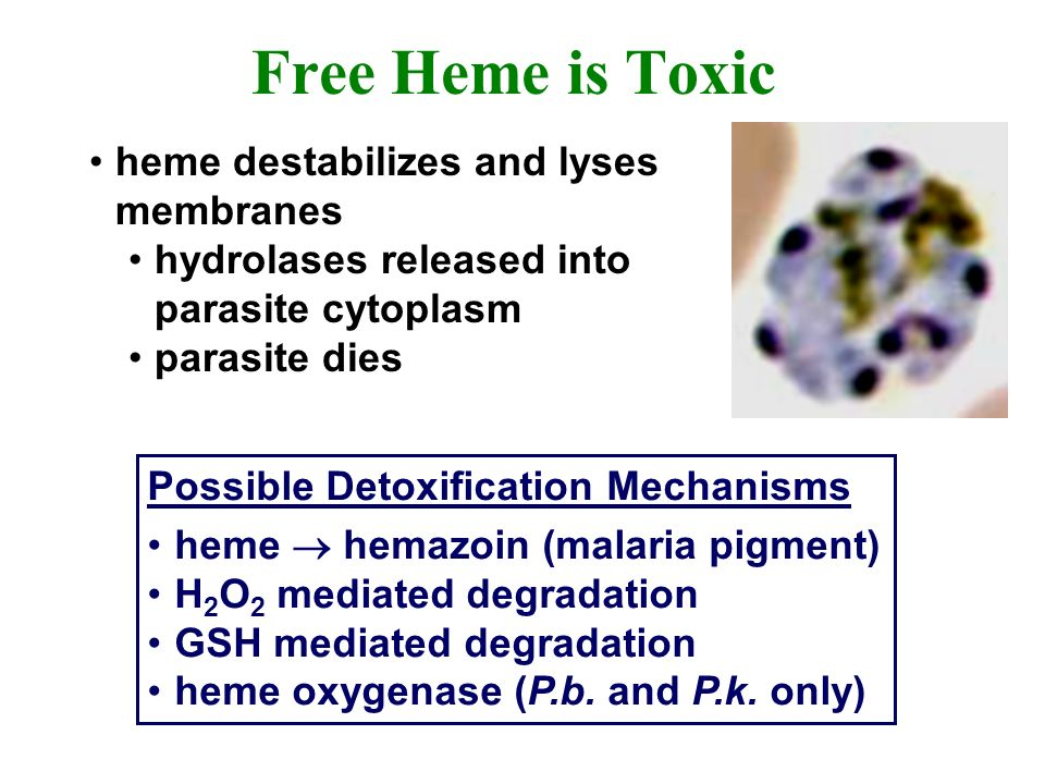 Free Heme is Toxic heme destabilizes and lyses membranes