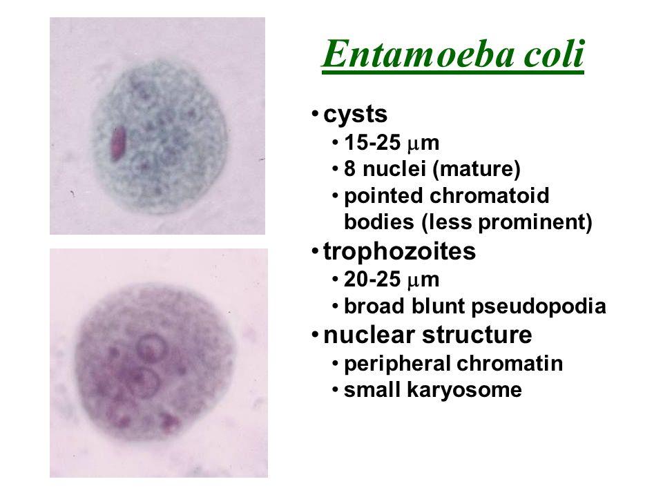 Entamoeba coli cysts trophozoites nuclear structure 15-25 mm