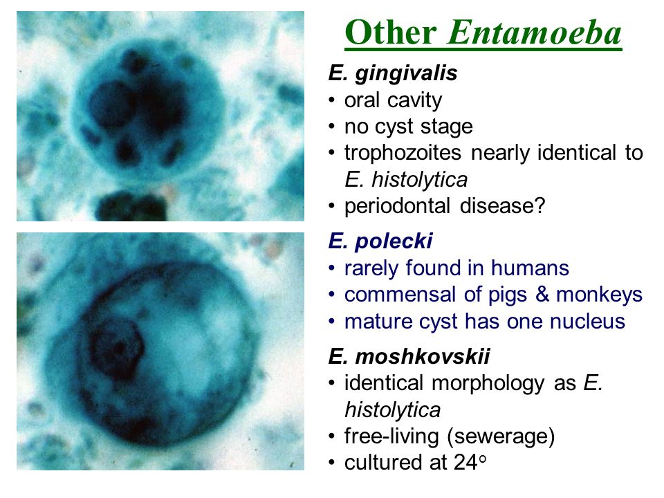 Other Entamoeba E. gingivalis oral cavity no cyst stage