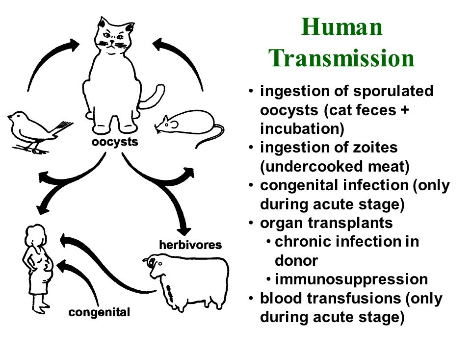 Human Transmission ingestion of sporulated oocysts (cat feces + incubation) ingestion of zoites (undercooked meat)