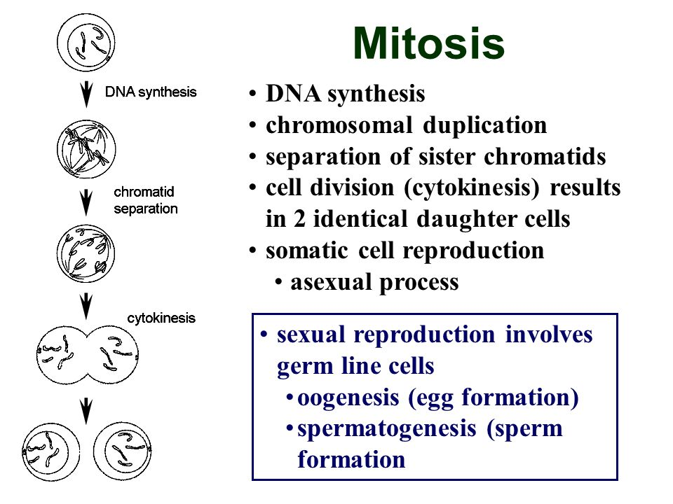 Mitosis DNA synthesis chromosomal duplication