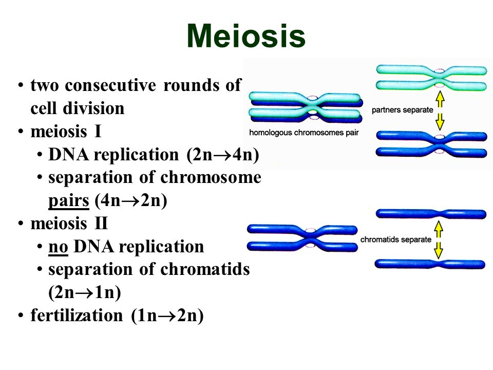 Meiosis two consecutive rounds of cell division meiosis I