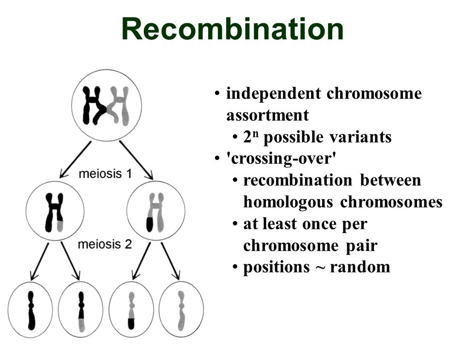 Recombination independent chromosome assortment 2n possible variants
