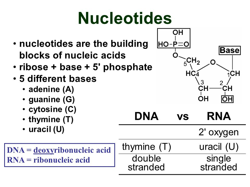Nucleotides nucleotides are the building blocks of nucleic acids. ribose + base + 5 phosphate. 5 different bases.