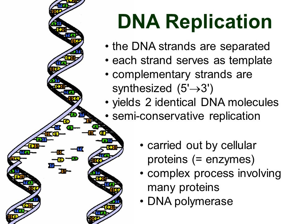 DNA Replication the DNA strands are separated