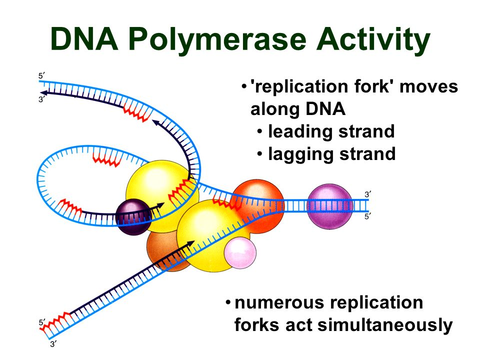DNA Polymerase Activity