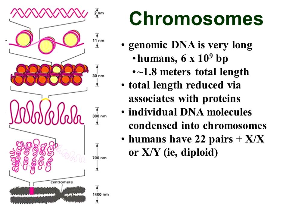 Chromosomes genomic DNA is very long humans, 6 x 109 bp