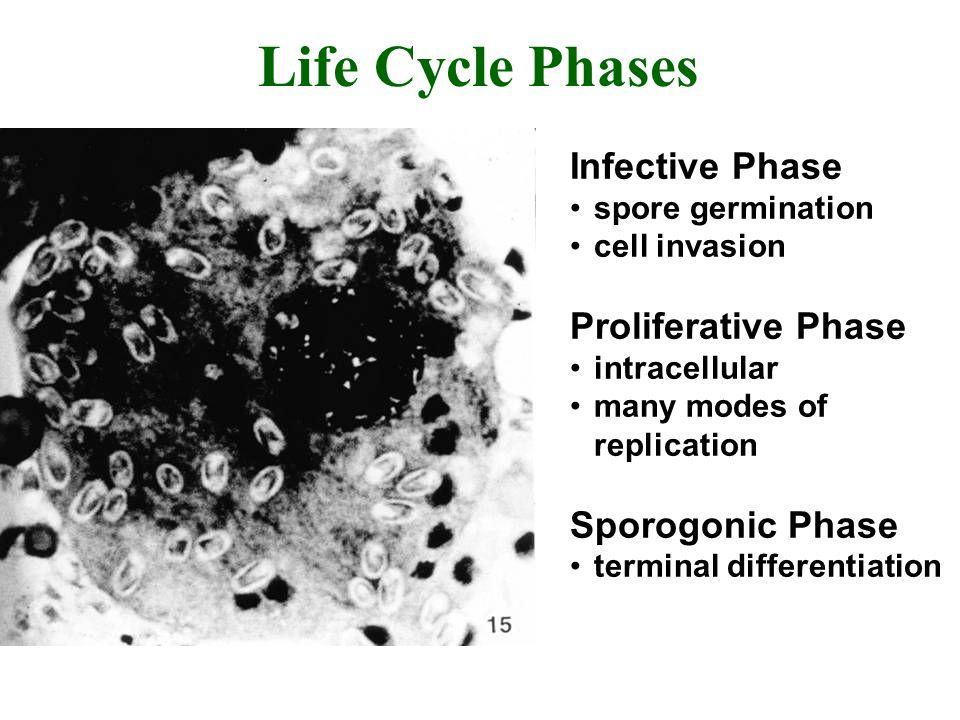Life Cycle Phases Infective Phase Proliferative Phase Sporogonic Phase
