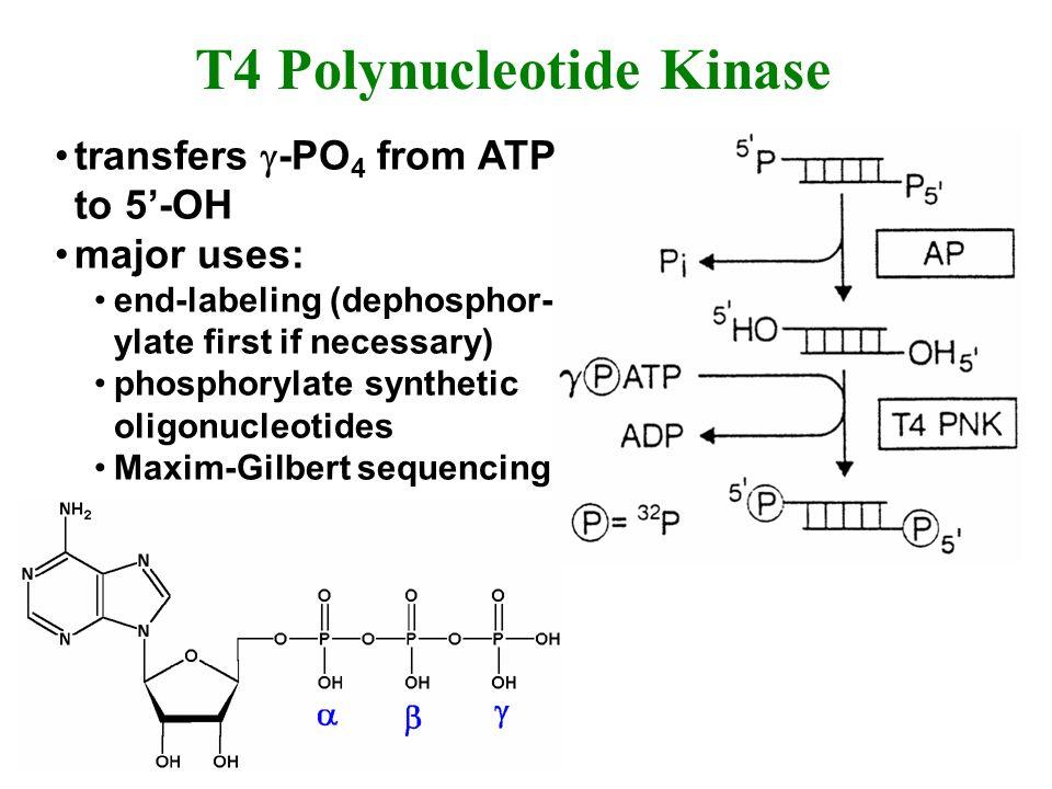 T4 Polynucleotide Kinase