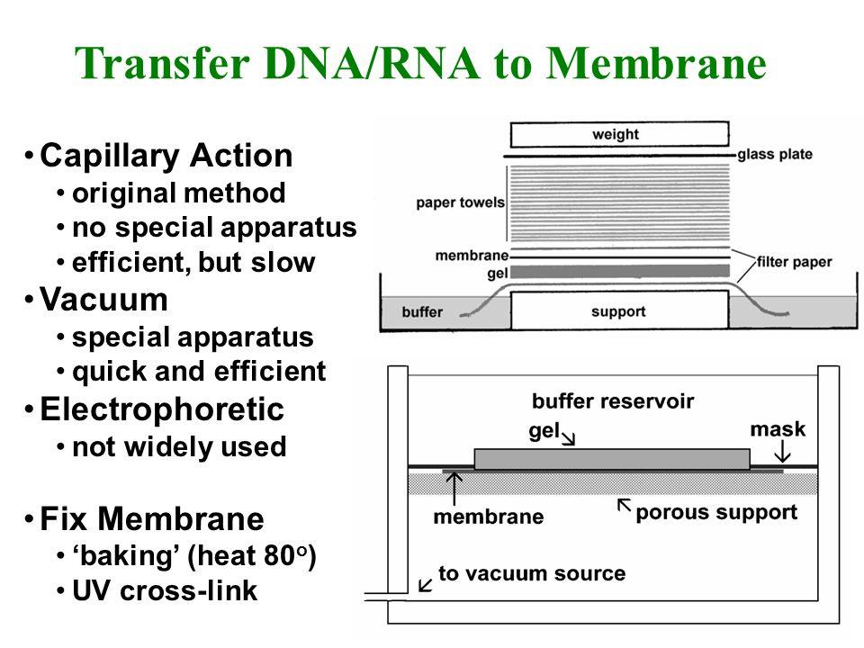 Transfer DNA/RNA to Membrane