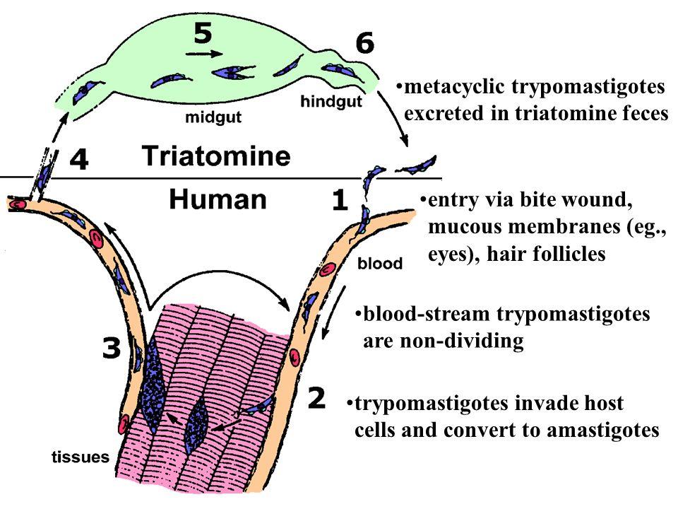 metacyclic trypomastigotes excreted in triatomine feces