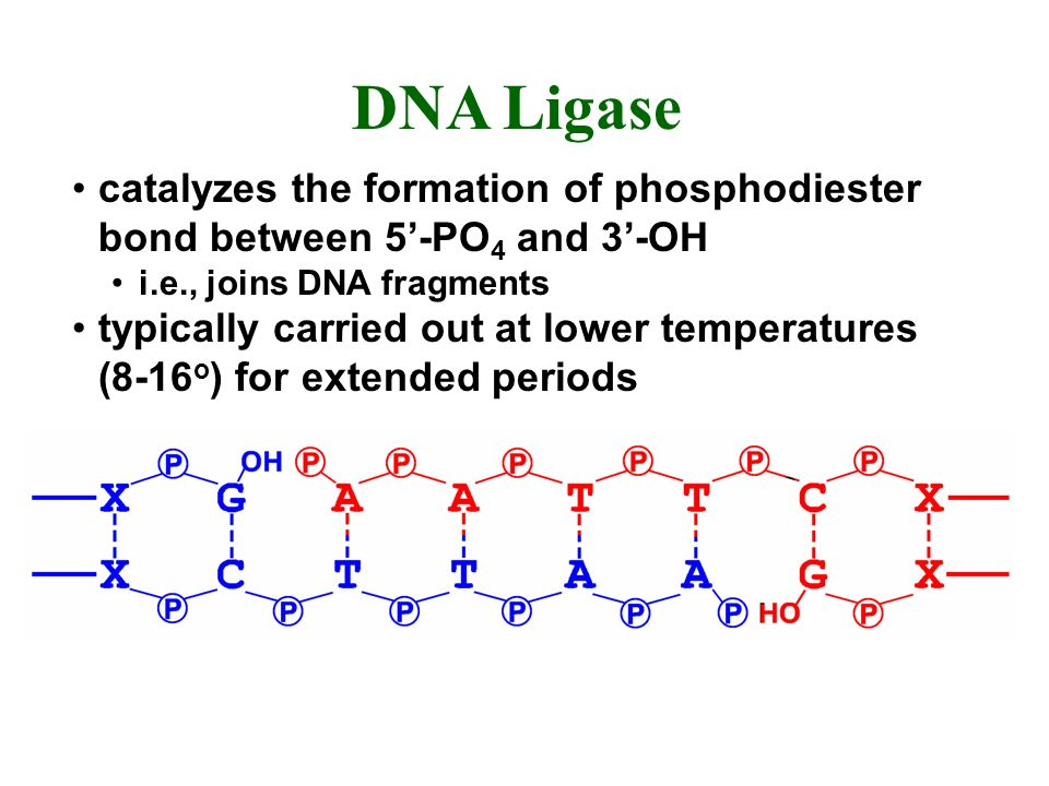 DNA Ligase catalyzes the formation of phosphodiester bond between 5'-PO4 and 3'-OH. i.e., joins DNA fragments.