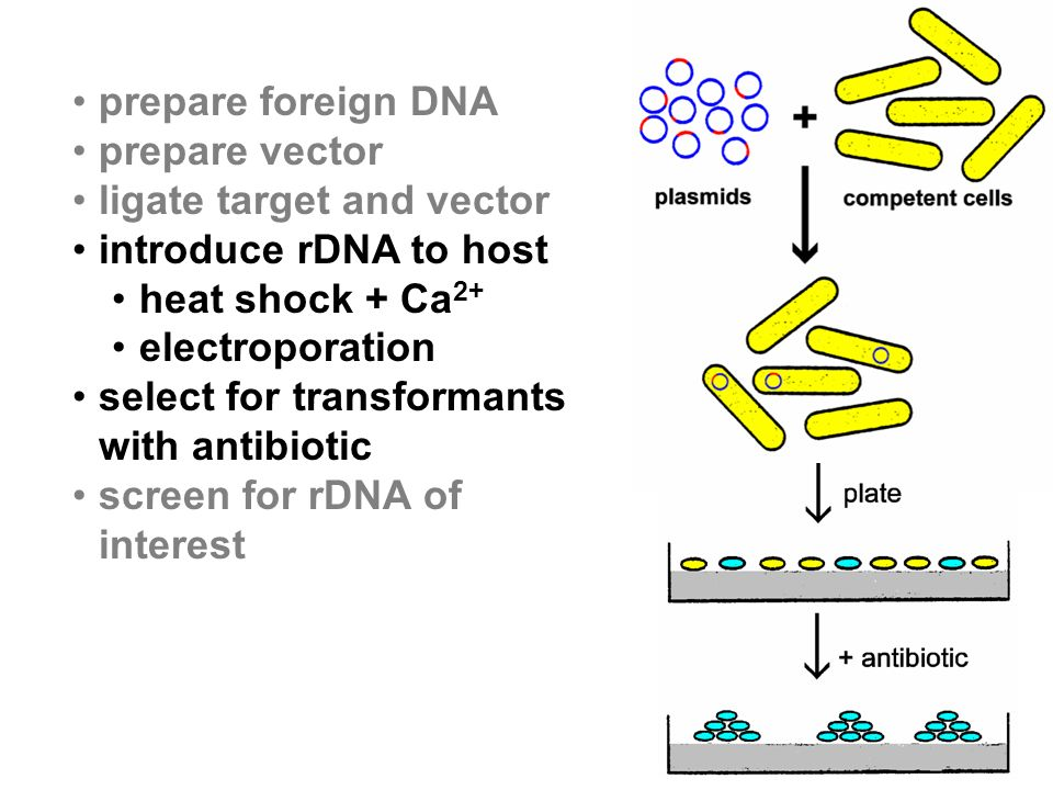 prepare foreign DNA prepare vector. ligate target and vector. introduce rDNA to host. heat shock + Ca2+
