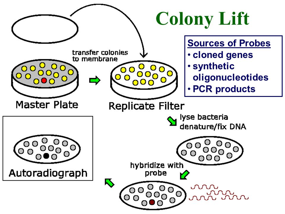 Colony Lift Sources of Probes cloned genes synthetic oligonucleotides