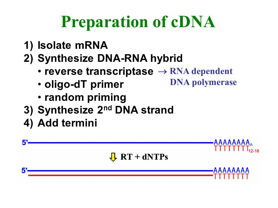 Preparation of cDNA 1) Isolate mRNA 2) Synthesize DNA-RNA hybrid