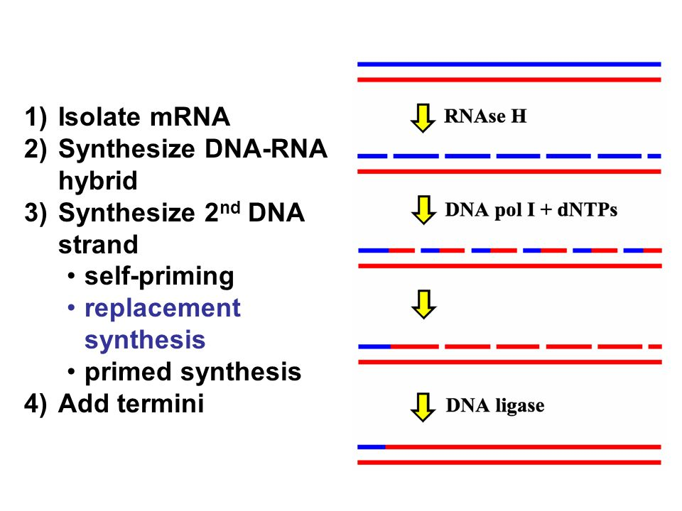 1) Isolate mRNA 2) Synthesize DNA-RNA hybrid. 3) Synthesize 2nd DNA strand. self-priming. replacement synthesis.