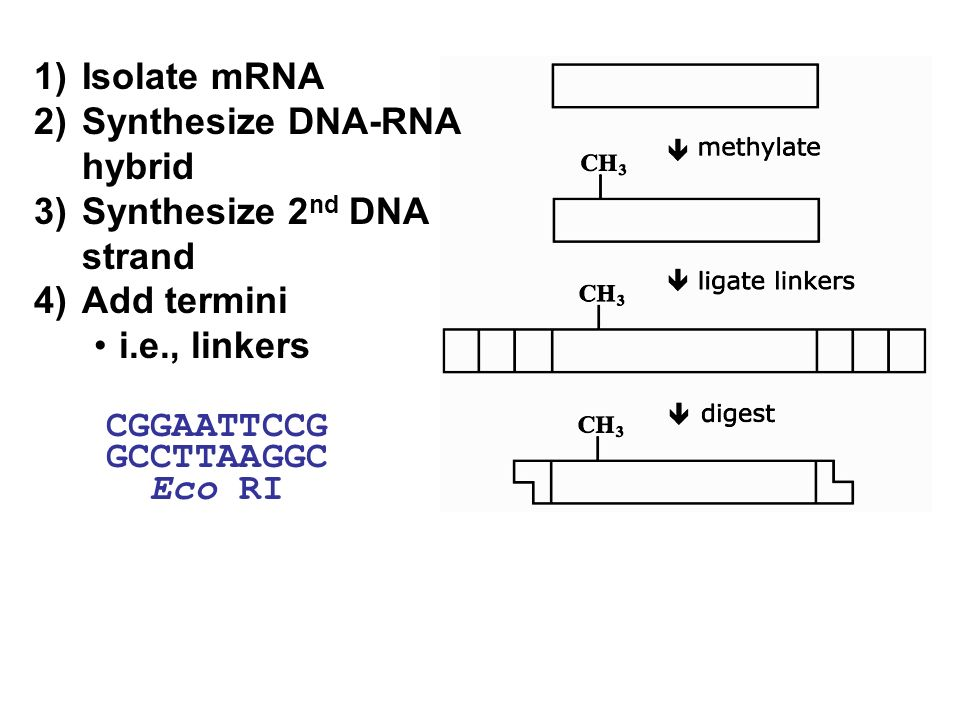 1) Isolate mRNA 2) Synthesize DNA-RNA hybrid. 3) Synthesize 2nd DNA strand. 4) Add termini. i.e., linkers.