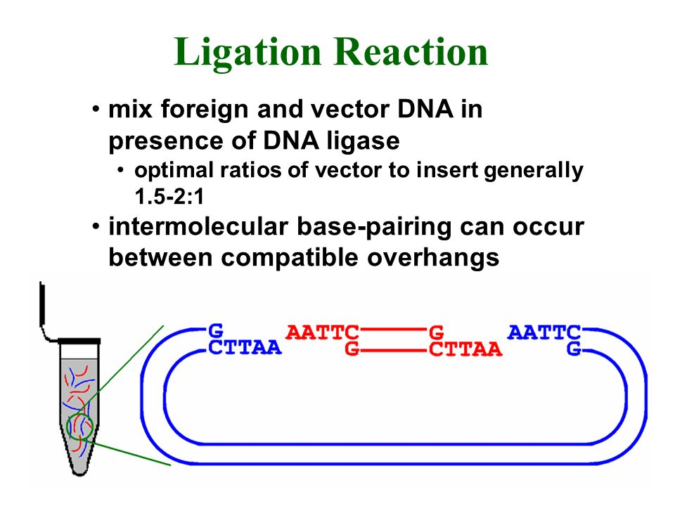 Ligation Reaction mix foreign and vector DNA in presence of DNA ligase