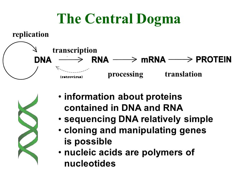 The Central Dogma information about proteins contained in DNA and RNA