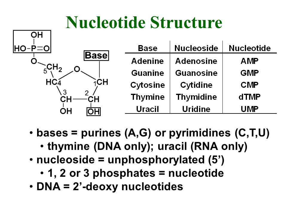 Nucleotide Structure bases = purines (A,G) or pyrimidines (C,T,U)