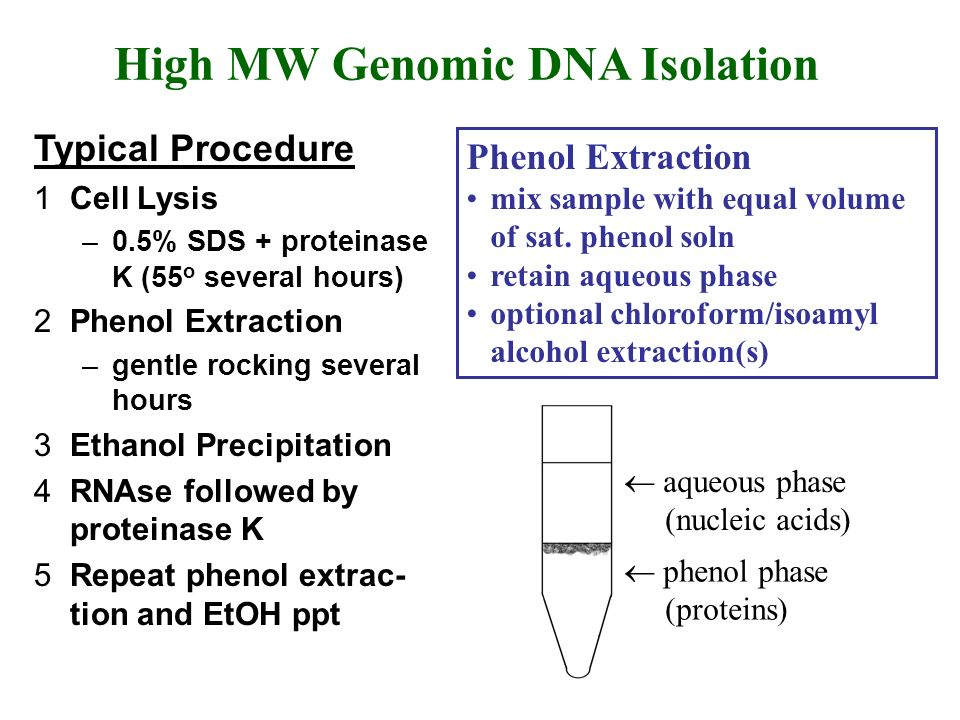 genomic dna isolation Genomic dna is visualized by the addition of a precipitating solution (alcohol) and high onion genomic dna isolation ï book.