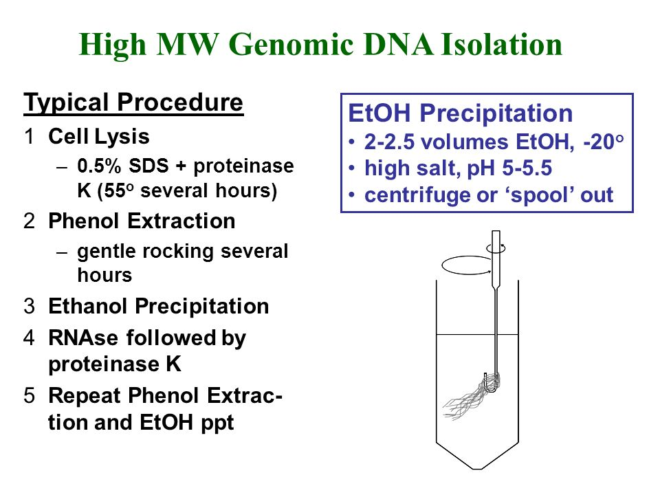 High MW Genomic DNA Isolation