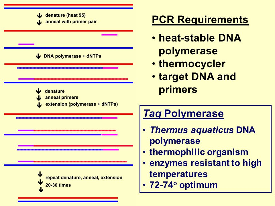 heat-stable DNA polymerase thermocycler target DNA and primers
