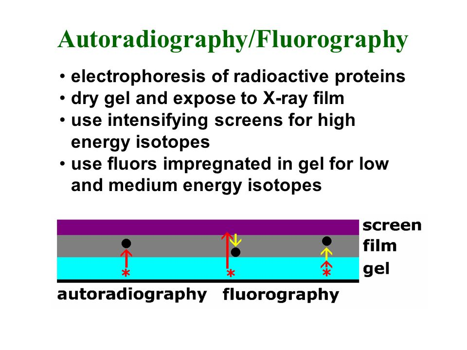 Autoradiography/Fluorography