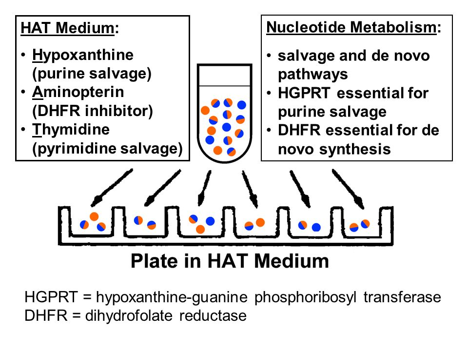 HAT Medium: Hypoxanthine. (purine salvage) Aminopterin. (DHFR inhibitor) Thymidine. (pyrimidine salvage)