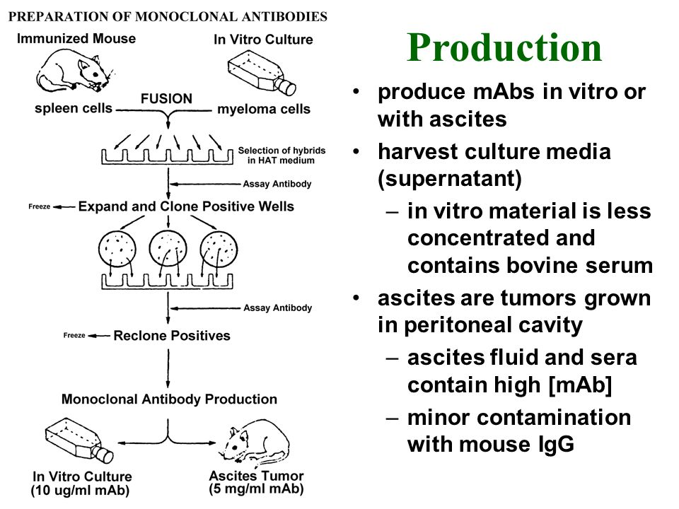 Production produce mAbs in vitro or with ascites