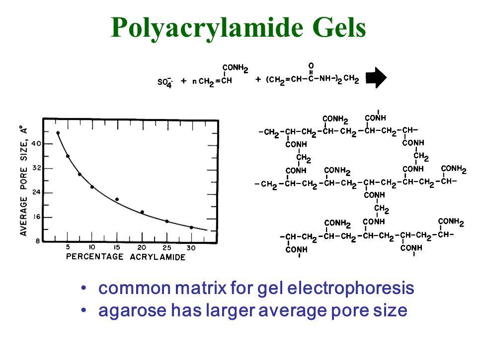 Polyacrylamide Gels common matrix for gel electrophoresis