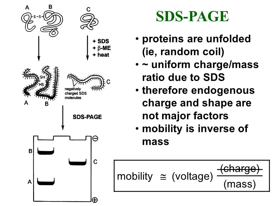SDS-PAGE proteins are unfolded (ie, random coil)