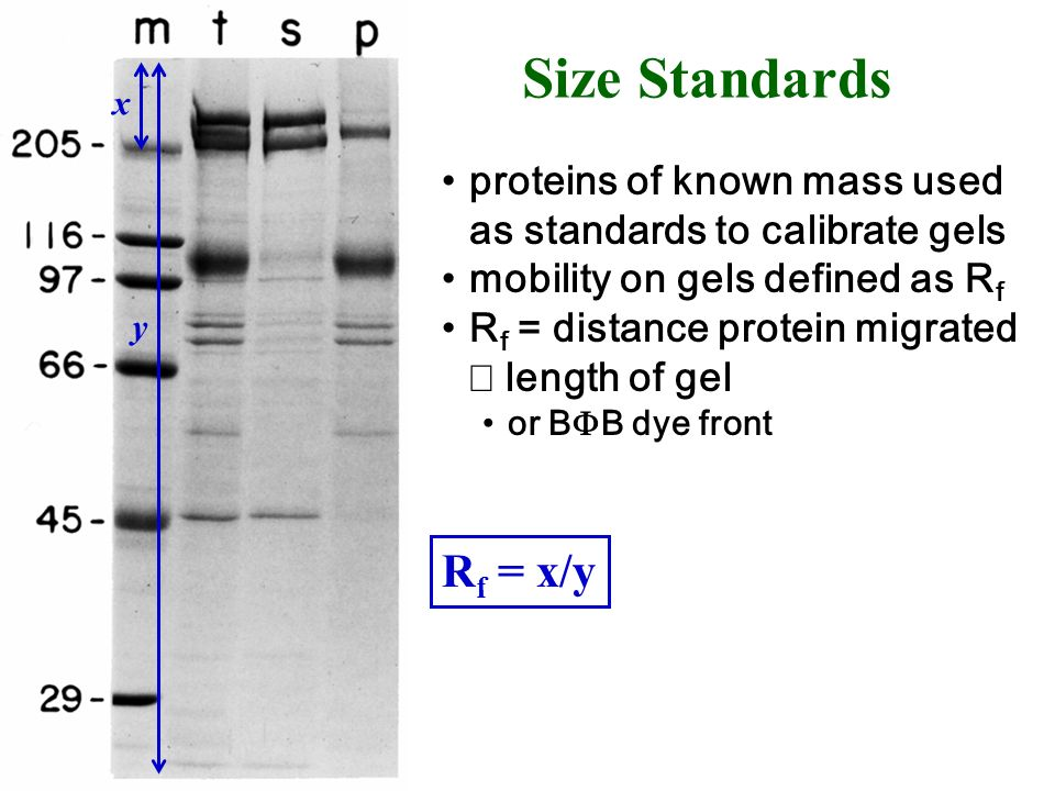 Size Standards x. y. Rf = x/y. proteins of known mass used as standards to calibrate gels. mobility on gels defined as Rf.
